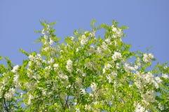 白色金合欢在春天在背景中开花,金合欢绽放,蓝天 库存照片