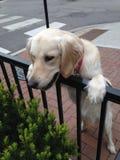 白色金毛猎犬小狗在殷勤追求中 库存图片