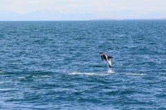 白色钩形的海豚 免版税库存图片