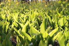 白色铃兰在一块沼地的在森林,晴天里 免版税图库摄影
