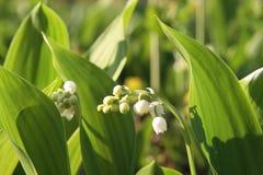 白色铃兰在一块沼地的在森林,晴天里 免版税库存照片