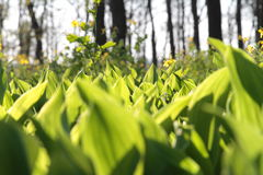 白色铃兰在一块沼地的在森林,晴天里 库存照片