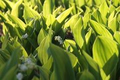 白色铃兰在一块沼地的在森林,晴天里 库存图片
