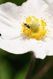 白色银莲花属、露水和飞行特写镜头 图库摄影