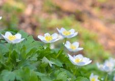 白色银莲花属在森林被弄脏的背景中 美丽的宏观春天主题郁金香 免版税库存图片