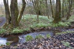 白色银莲花属在森林里 免版税库存照片