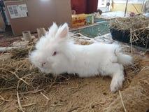 白色长的haird狮子头兔子 库存图片