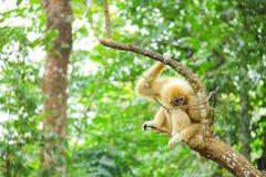 白色长臂猿在绿色森林里 免版税库存图片