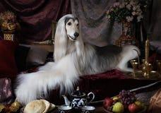 白色阿富汗猎犬狗 库存照片