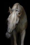 白色阿拉伯公马画象 免版税库存图片