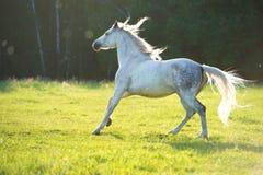 白色阿拉伯马奔跑在日落光疾驰 免版税库存图片