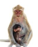 白色隔绝了母亲猴子和小猴子sittin backgroud  免版税库存照片