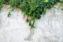 白色难看的东西常春藤墙壁纹理 免版税库存照片
