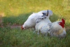 白色雄鸡和鸡在草坪 啄草的母鸡 免版税库存图片