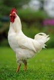 白色雄鸡(公鸡)在绿色草坪 免版税库存照片