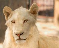 白色雌狮 库存图片