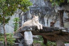 021白色雌狮 库存图片