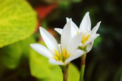 白色雨百合,白色过眼云烟的百合, Zephyranthes假丝酵母 免版税库存图片