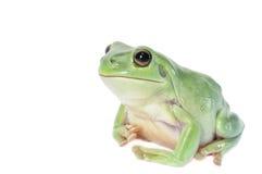 白色雨蛙 免版税库存图片