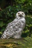 白色雪猫头鹰 免版税图库摄影