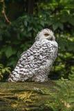 白色雪猫头鹰 免版税库存图片