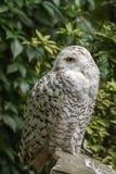 白色雪猫头鹰 库存图片