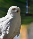 白色雪猫头鹰 免版税库存照片