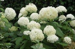 白色霍滕西亚开花在庭院里 库存照片