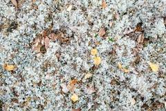 白色青苔或北极地衣或者驯鹿或者石蕊属Stellaris 免版税库存图片