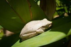 白色青蛙 免版税库存照片