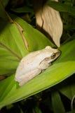 白色青蛙 库存照片