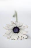 白色非洲人格伯雏菊前面 免版税库存图片