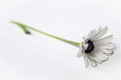 白色非洲人格伯雏菊边 免版税库存图片
