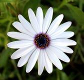 白色非洲雏菊关闭 图库摄影
