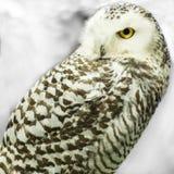白色面孔猫头鹰 免版税库存照片