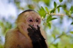 白色面孔猴子 库存图片