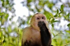 白色面孔猴子 库存照片