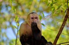 白色面孔猴子 免版税库存图片
