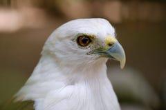 白色顶头猎鹰 库存照片