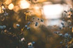 白色领域在一个夏天晴朗的早晨开花 图库摄影