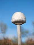 白色领域蘑菇真菌 库存图片