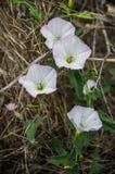 白色领域野生植物 图库摄影