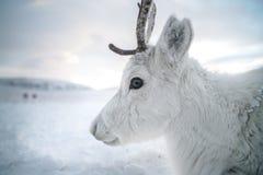 白色颜色一头逗人喜爱的鹿的特写镜头  以雪和云彩为背景 俄罗斯,西伯利亚, Yamal 库存图片