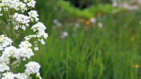 白色颜色花在风摇摆以水多的绿草为背景 影视素材