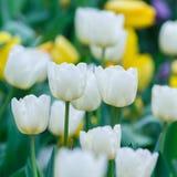 白色颜色郁金香花 库存图片