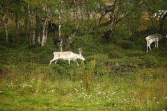 白色颜色鹿在森林里 库存图片