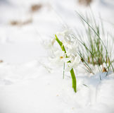 白色风信花的第一芽在春天 免版税图库摄影