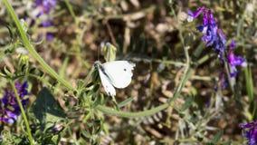 白色飞蛾坐羽扇豆绿色茎  免版税库存照片