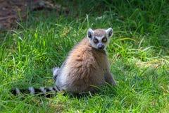 黑白色马达加斯加狐猴在动物园里 库存照片