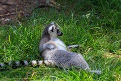 黑白色马达加斯加狐猴在动物园里 免版税图库摄影